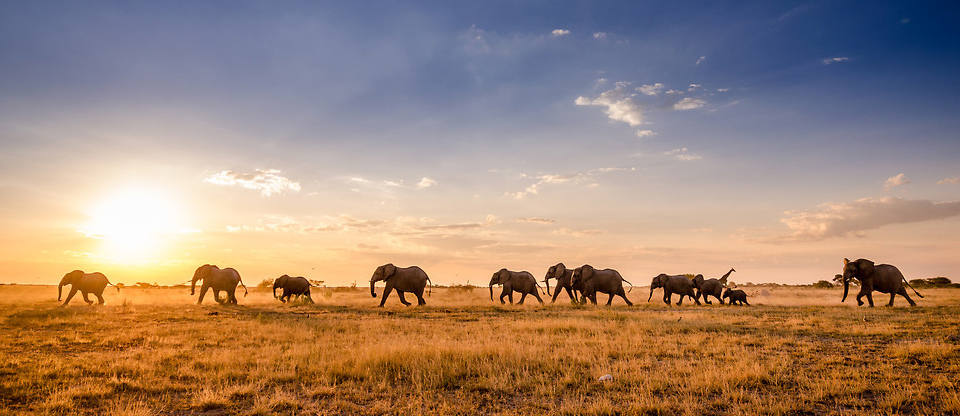 a herd of elephants travelling through Botswana