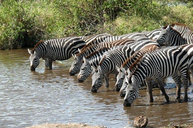 zebra-migratie