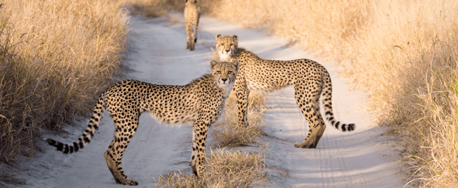 Cheetah's in the Kalahari