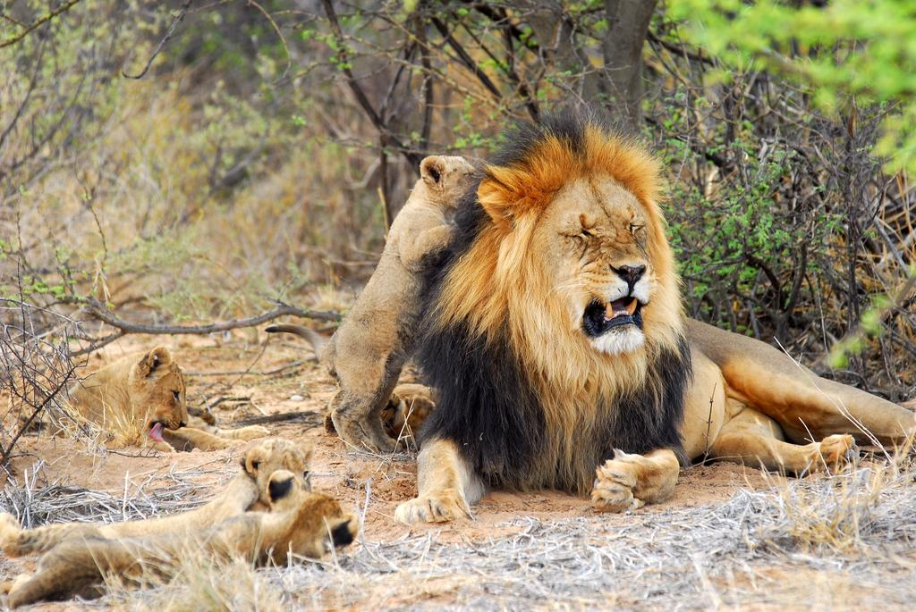 A lion and his cubs