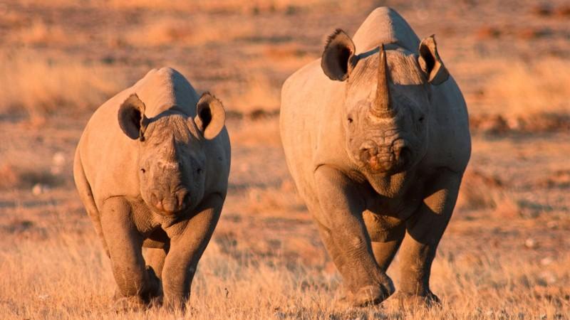 Etosha National Park: Black Rhino