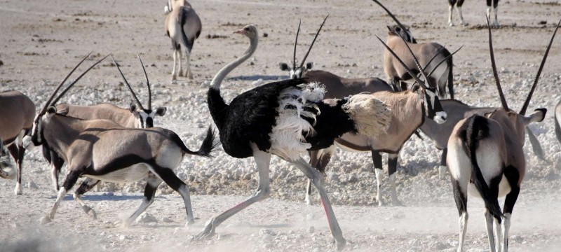Ostrich and oryx are some of the wildlife that can be sighted from the road
