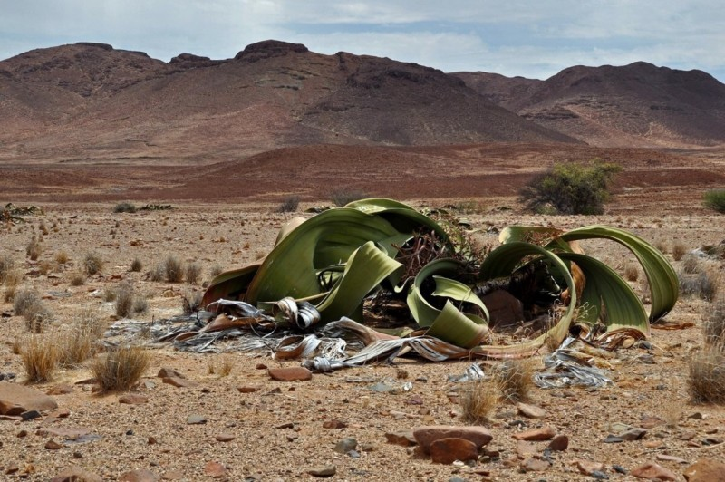 The strange welwitschia plants can be found at Messum Crater in Damaraland