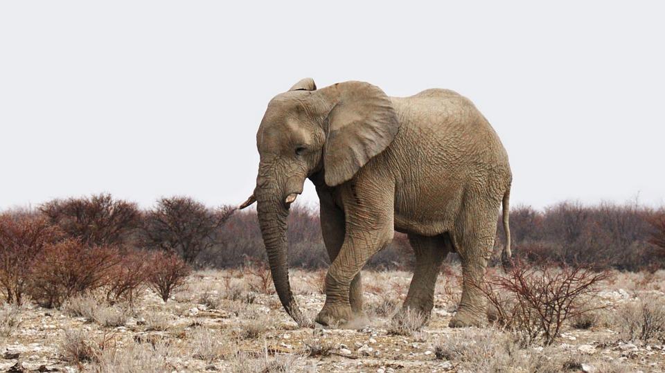 Desert elephant are prolific in Kaokoland