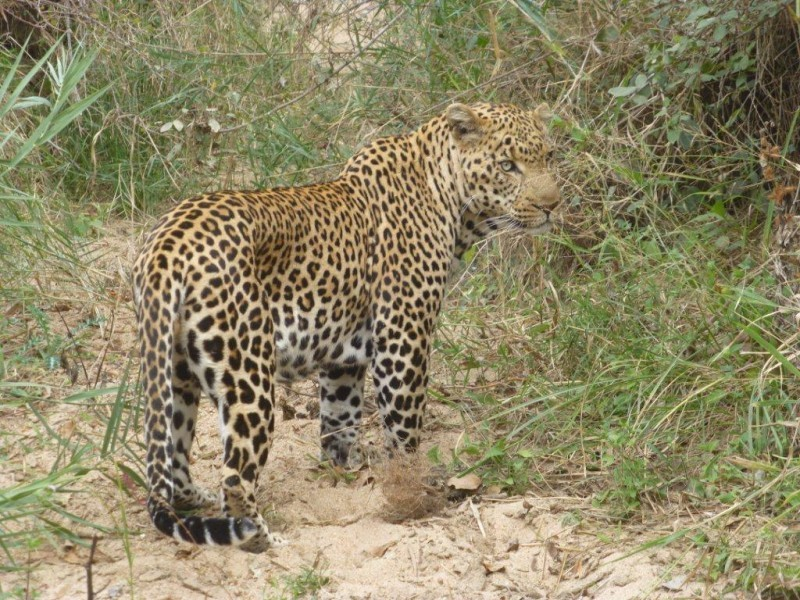 Tracking leopards on a self-drive safari