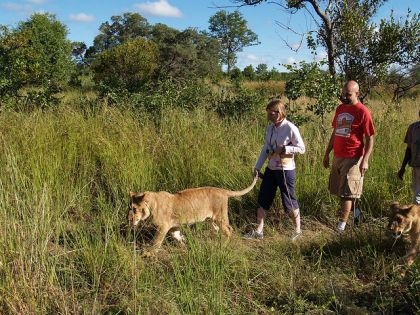 Walking with the Lions in Zimbabwe