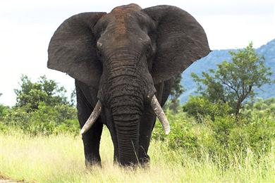 The big 5 African Elephant