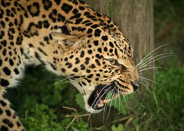The big 5 African Leopard