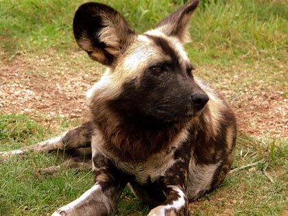 Botswana Game Parks Moremi Game Reserve African Wild dog