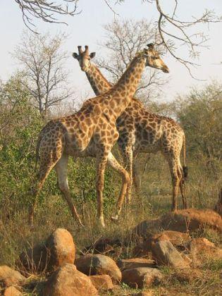 Giraffe at the Kruger National Park