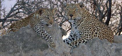 Leopard and cub at Kruger National Park